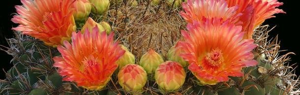 2-Barrel cactus header